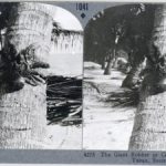 Musée à la Maison, image stéréoscopique -  Le crabe voleur géant, Tahaa, Iles de la Société