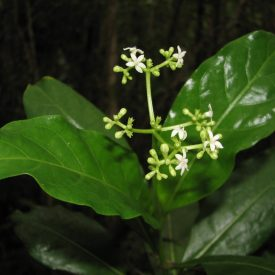 Psychotria niauensis Butaud & J.Florence, sp. nov. (Butaud 1540). © J.-F. Butaud